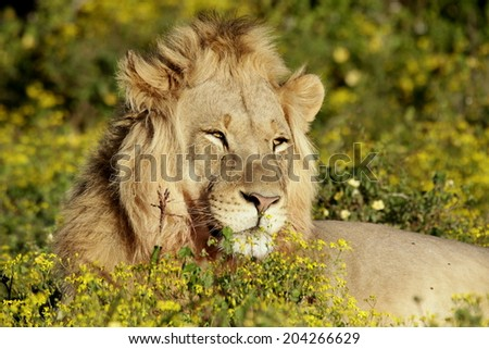 A beautiful male lion in golden sunlight. - stock photo