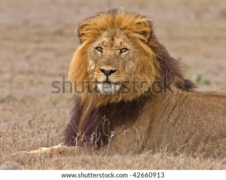 A beautiful Male lion out on the Plains of Africa - stock photo