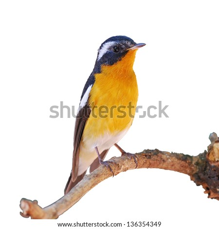 A beautiful male Mugimaki Flycatcher on white background.(Ficedula strophiata)