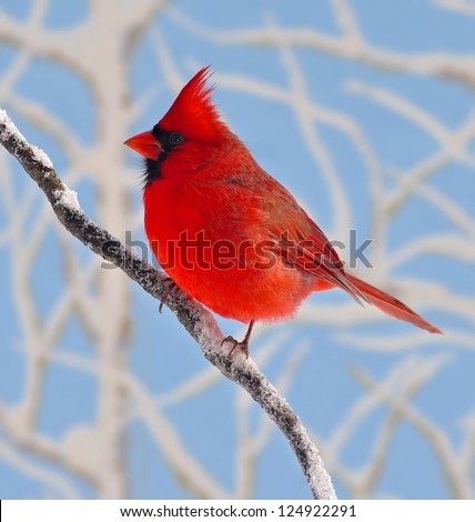 A beautiful male Northern Cardinal (Cardinalis cardinalis) on a snowy branch with snow- covered branches and blue sky in the background. - stock photo