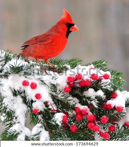 A beautiful male Northern Cardinal (Cardinalis cardinalis) on a snowy festive spruce bough. - stock photo