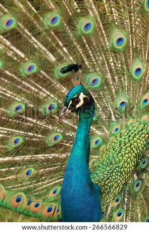 a beautiful male peacock displaying his colorful tail - stock photo