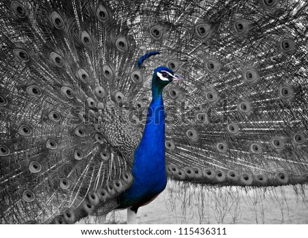 A Beautiful Male Peacock Displays his Plumage.  Selective Color on the bird's head - stock photo