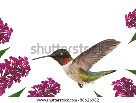 A beautiful male Ruby-throated Hummingbird (Archilochus colubris) at a purple butterfly bush - for your cards, background, and other artistic needs. - stock photo