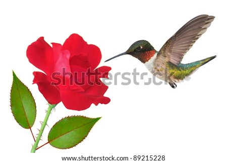 A beautiful male Ruby- throated Hummingbird (Archilochus colubris) at a red rose.