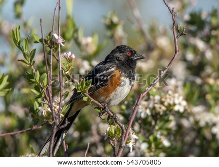 A beautiful male Spotted Towhee with its red eye and chestnut sides perches high in a brush in the arid Utah scrubland.