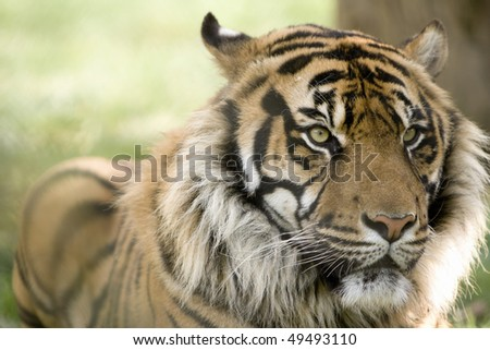 A beautiful male tiger head portrait with alert expression in the face (Panthera tigris altaica) - stock photo