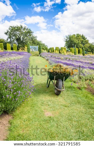 A beautiful meadow of lavender with wheelbarrow in the foreground in summertime  - stock photo
