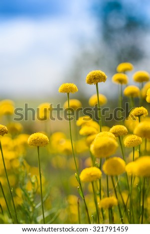 A beautiful meadow of yellow flowers in summertime