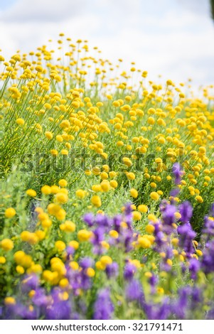 A beautiful meadow of yellow flowers with purple lavender in summertime  - stock photo