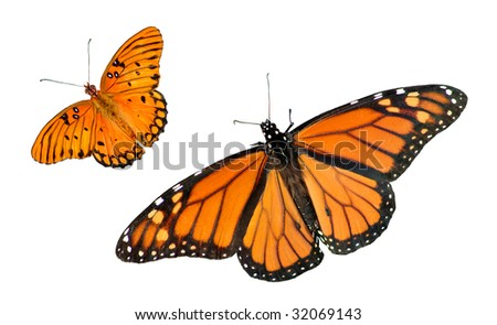 A beautiful Monarch and Gulf Fritillary Butterfly isolated on a white background with copy space - stock photo