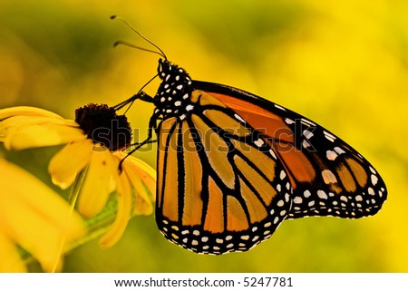 A beautiful monarch butterfly (danaus plexippus) on a Black-eyed Susan (rudbeckia hirta) flower. - stock photo