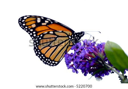 A beautiful monarch butterfly enjoying its lunch on  a flower - stock photo