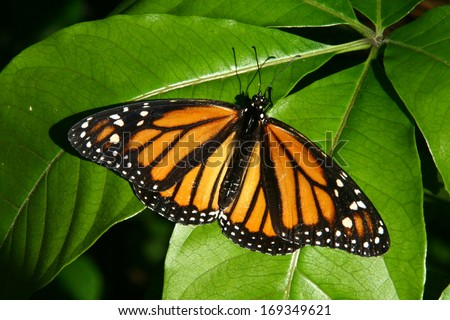A Beautiful Monarch Butterfly on a Leaf - stock photo