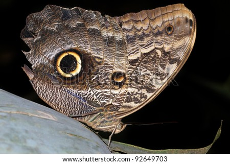 A beautiful Morphos Butterfly in the Peruvian Amazon Isolated on black with plenty of space for text - stock photo