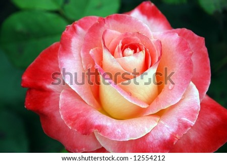 A beautiful multicolored rose bloom with drops of water on the petals. - stock photo