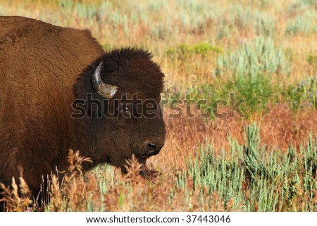 A beautiful North American Bison grazes on scrub brush in the grasslands - stock photo