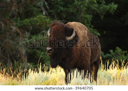 A beautiful North American Bison or Buffalo - stock photo
