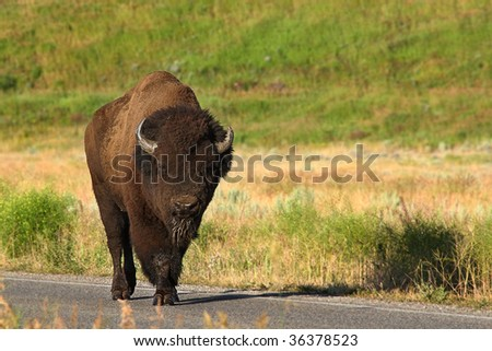 A beautiful North American Bison walks along the roadway - stock photo
