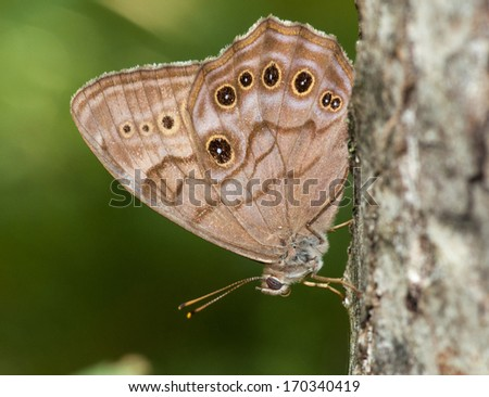 A beautiful Northern Pearly-eye butterfly rests on the side of a tree trunk in a Wisconsin northwoods forest. - stock photo
