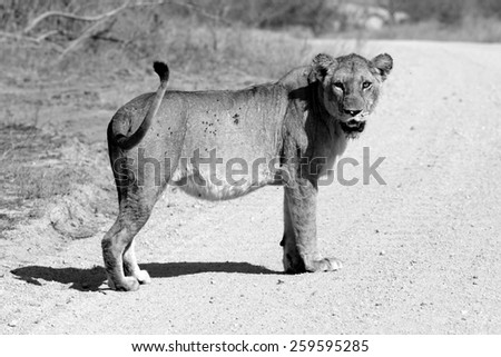 A beautiful old scared mother. Pregnant and off to have probably her last litter of the lifetime.Kruger National Park, South Africa - stock photo