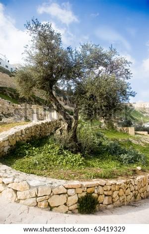 a beautiful olive tree - stock photo