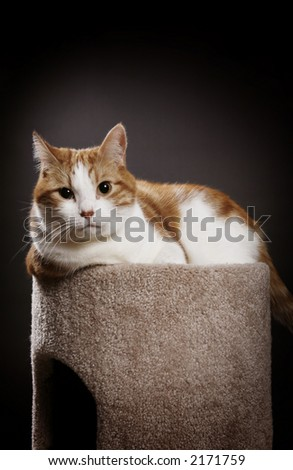 A beautiful orange and white tabby boy sits on his scratching post