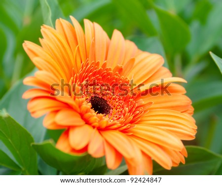 A beautiful orange gerbera against the background of green plants - stock photo