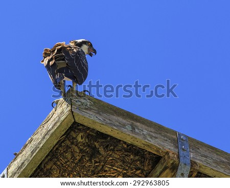 A beautiful Osprey sits on its nest calling to its mate with a blue sky background. - stock photo