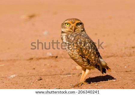 A beautiful owl in the desert. This Owl makes holes in the ground and leaves hunting little animals like insects and rats.