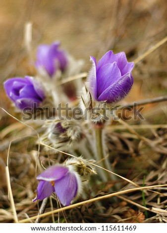 A beautiful pasque flower in sunshine - stock photo