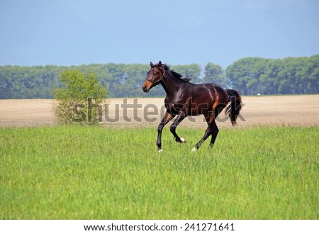 A beautiful pedigree young stallion gallops on the field - stock photo
