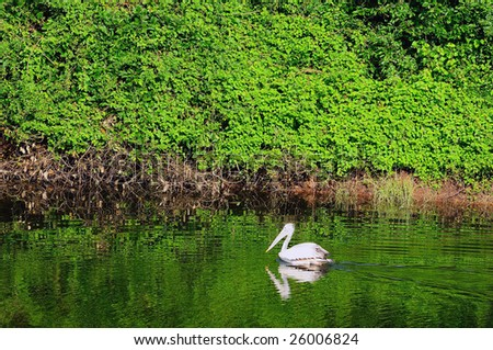 a beautiful pelican at a local wetland park - stock photo