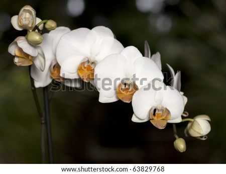A beautiful phalaenopsis orchid caught in a tropical setting - stock photo