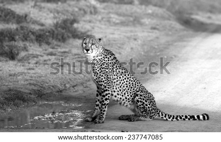 A beautiful photo of a cheetah sitting,having a drink and looking straight at the camera. Taken on safari in Africa. - stock photo