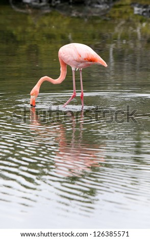 A beautiful pink flamingo in search of food in a small pond - stock photo