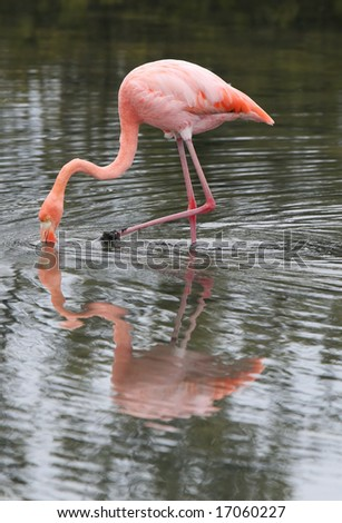 A beautiful pink flamingo searches for food in the water - stock photo