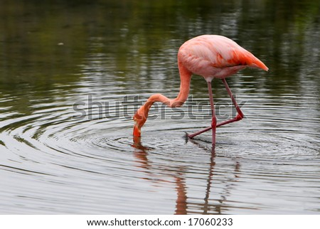 A beautiful pink flamingo wading in the waters of a small lake - stock photo