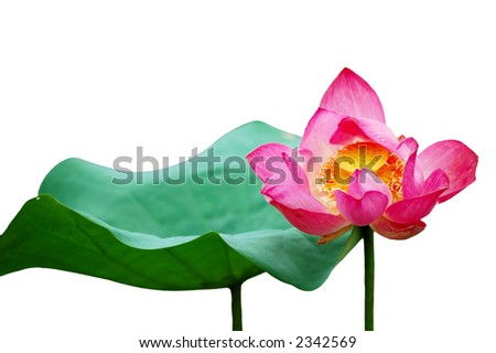 A beautiful pink lotus flower and leaf. Lotus is also a symbol of Buddhism. - stock photo