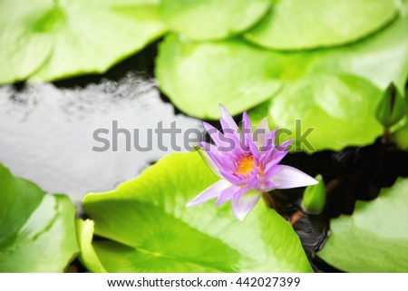 A beautiful pink water lily or lotus flower in pond - stock photo