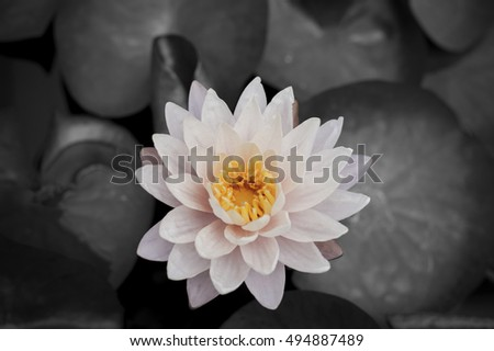 A beautiful pink waterlily or lotus flower in pond,image dark background.
