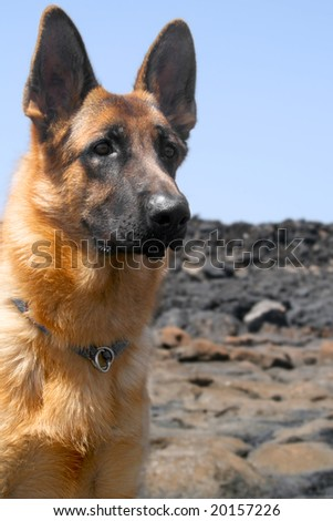 a beautiful portrait of a german shepperd dog - stock photo