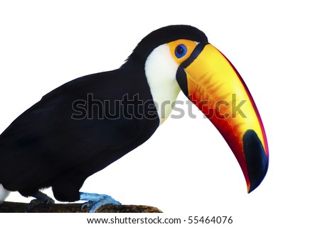 A beautiful portrait of a toucan against a white background. - stock photo