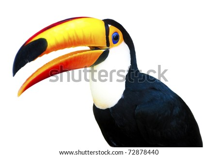 A beautiful portrait of a toucan against a white background.