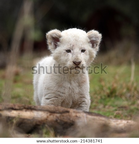 A beautiful portrait of a very cute baby white lion cub. - stock photo