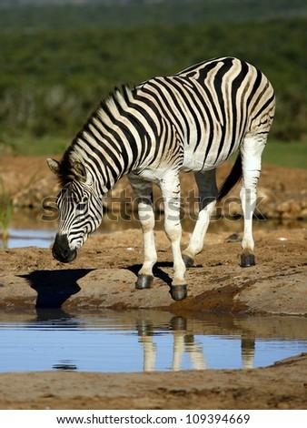 A beautiful portrait of a zebra at a waterhole - stock photo