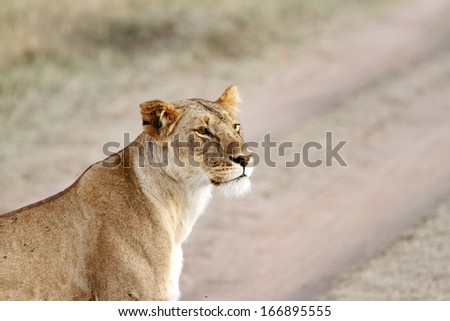 A beautiful portrait of lioness - stock photo