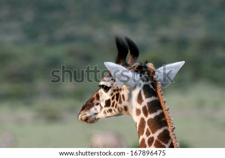 A beautiful portrait of Masai Giraffe - stock photo