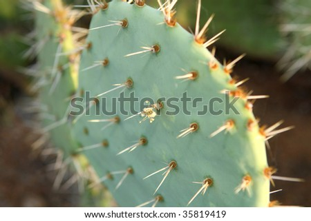 A beautiful prickly pear cactus glows in the afternoon sun - stock photo