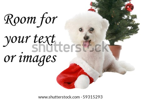a beautiful pure bred Bichon Frise celebrates Christmas and Winter Holidays while Isolated on white with room for your text or images
